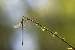 Emerald damselfly at the waterside Stock Photos