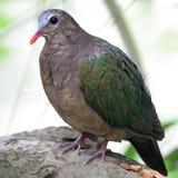 Emerald Dove Foto de archivo
