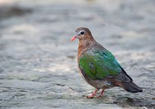 Emerald dove Bird. Emerald dove Chalcophas indica in thailand stock photography