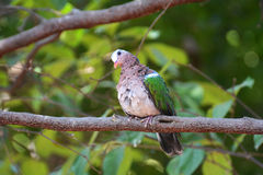 Emerald Dove or Chalcophaps indica Royalty Free Stock Photo