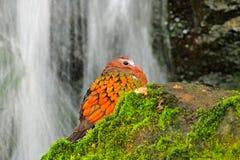 Emerald Dove, Chalcophaps Indica, im Waldwasserfall Vogel von Indien, China, Indonesien Vogel, der auf dem Stein sitzt wildnis Lizenzfreies Stockbild