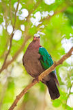 Emerald Dove or Chalcophaps indica Stock Photos