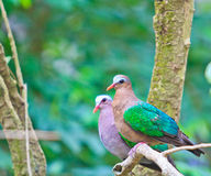 Emerald Dove or Chalcophaps indica Royalty Free Stock Photos