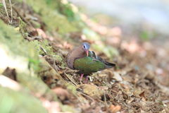Emerald dove Royalty Free Stock Photo