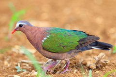 Emerald dove Royalty Free Stock Image
