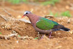 Emerald dove Stock Photos