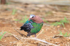 Emerald dove Stock Photo