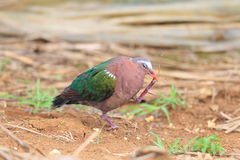 Emerald dove Stock Images