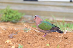 Emerald dove Royalty Free Stock Photography