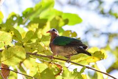 Emerald dove Bird. Emerald dove Chalcophas indica On the tree in thailand stock photo