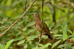 Emerald Dove. Royalty Free Stock Photos