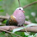 Emerald Dove femenino Imagen de archivo libre de regalías
