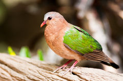 Emerald Dove(Green-winged Pigeon) lives in the tropical rain for Stock Photo
