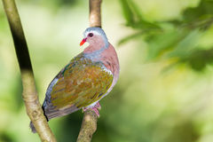 Emerald Dove(Green-winged Pigeon) Stock Image