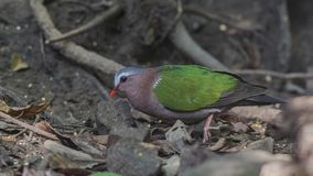 Emerald Dove Looking For Food stock afbeeldingen