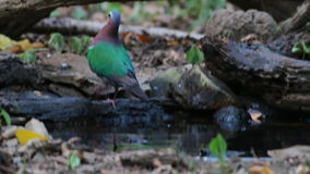 Emerald Dove Male Eat  the water stock video footage