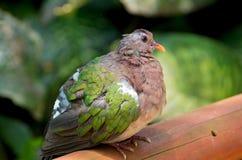Emerald Dove Profile and Perch Stock Photography