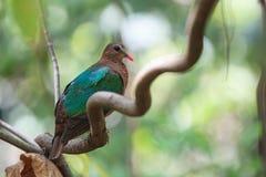 Emerald Dove som vilar på filialen Arkivfoton