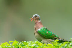 Emerald dove. A emerald dove stands on the bush Stock Image