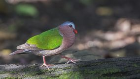 Emerald Dove Walking On Log stock foto's