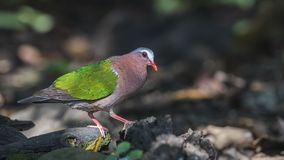 Emerald Dove Walking On Rock royalty-vrije stock foto