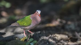 Emerald Dove Walking On Rock stock foto