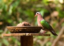 Emerald Dove at a Water feeder royalty free stock images