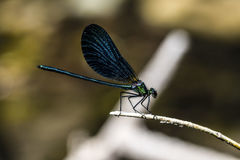 Emerald dragonfly Royalty Free Stock Photo