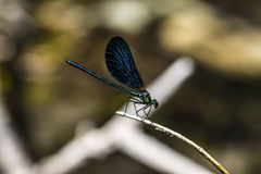 Emerald dragonfly Royalty Free Stock Images