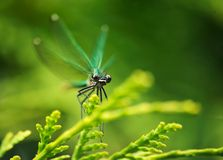 Emerald dragonfly. Sitting on the plant Stock Photos