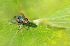 Emerald dung fly lat. Scathophagidae on a green leaf Stock Photo