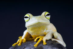 Emerald-eyed tree frog / Hypsiboas crepitans. The white Emerald-eyed tree frog is a tree frog species from Brazil and surrounding countries Stock Photos