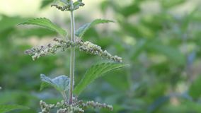 Emerald flowering nettle sways in the wind. Visible leaves, flowers stock footage
