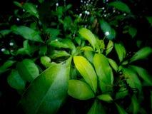 Emerald Fly Perched sur la feuille images stock