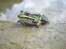 Emerald frog. Closeup of a big spotty emerald frog Royalty Free Stock Images