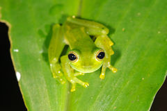 Emerald Glass Frog Royalty Free Stock Photo