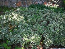 Emerald gold. Euonymus fortunei Emerald Gold , Ornamental plant in wuhan china stock photo