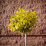 Emerald gold (Euonymus fortunei) planted in front of brick wall Stock Photography
