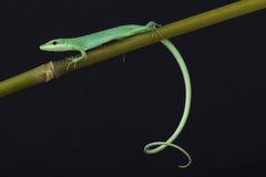 Emerald grass lizard / Takydromus smaragdinus Royalty Free Stock Image