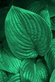 Emerald greed hosta leaves in the morning dew. royalty free stock photos