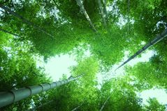 Emerald Green Bamboo Stock Photography