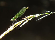Emerald green banded demoiselle on grass stalk royalty free stock photo
