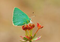 Emerald green butterfly on red flower , Callophrys paulae , butterflies of Iran