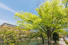 Emerald green cherry trees Stock Image