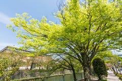 Emerald green cherry trees Stock Photos