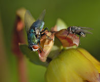 Emerald green fly Stock Photography
