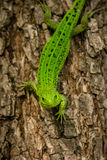 Emerald green lizard on a tree Stock Photography