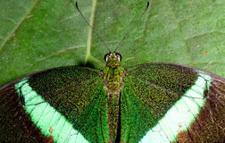 Emerald green swallowtail butterfly. Emerald green butterfly camouflaged on leaf The emerald swallowtail (papilio palinarus) top view Royalty Free Stock Photos