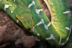 Emerald Green Tree Boa Lizenzfreies Stockfoto