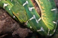 Emerald Green Tree Boa Lizenzfreies Stockfoto